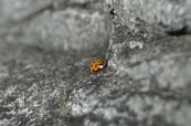 Ladybug nestled on a rock in Sooke, BC